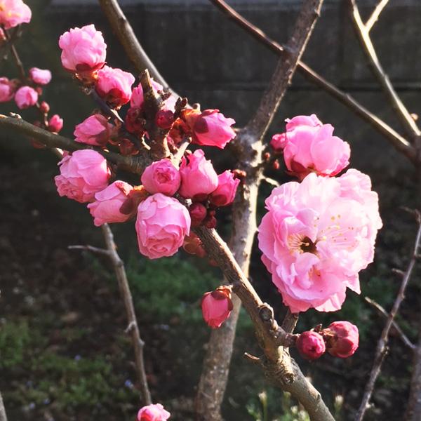 梅の楊貴妃さん